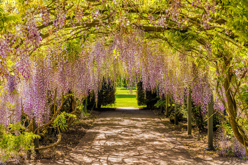 Wisteria Flower Tunnel, Hampton Court Castle, Herefordshire, England. The amazing 150 year old wisteria tunnel that runs from the walled garden to the parkland stock photo