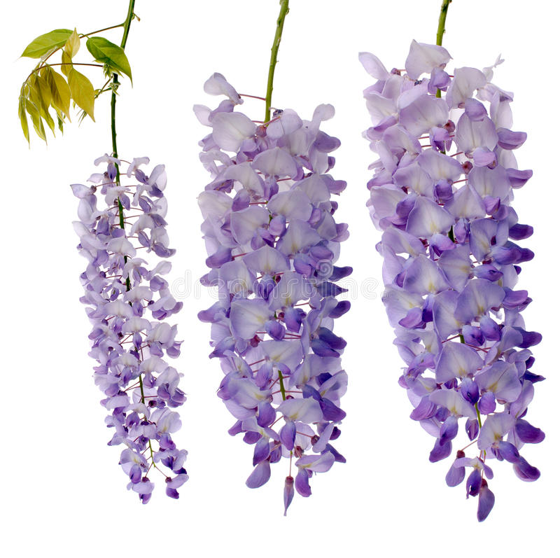 Wisteria flowers. Purple wisteria flowers isolated on white background royalty free stock photography
