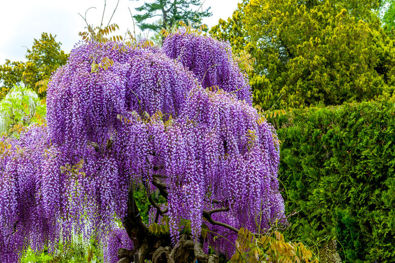 Wisteria flowers. Blooming wisteria in garden, purple color royalty free stock photography