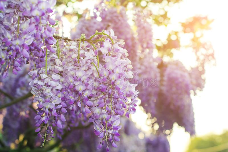 Wisteria flowers are blooming in springtime. Floral background. royalty free stock photo