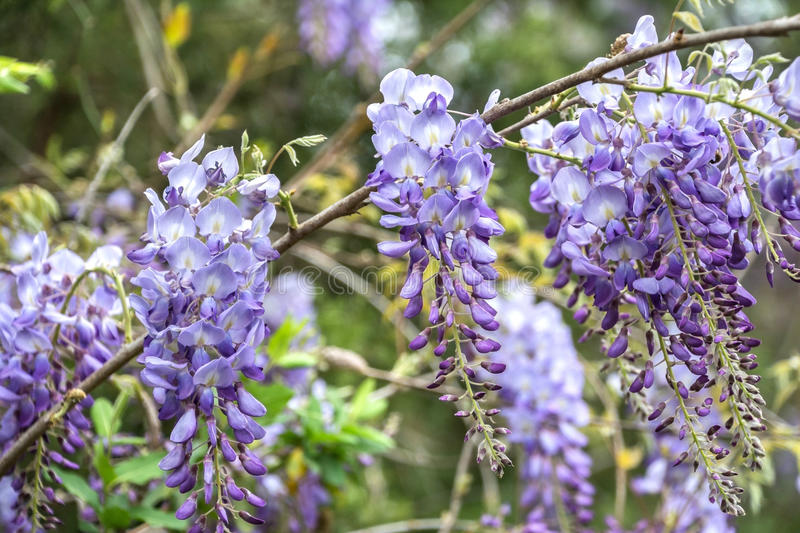 Wisteria. Wisteria flowers growing in rural north Mississippi royalty free stock image