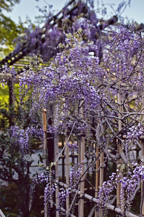 Wisteria flowers hanging from an arbor. In Nara Japan on a Spring day stock photo