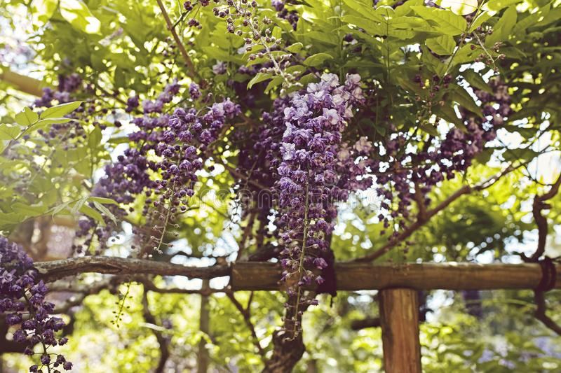 Wisteria flowers on a Spring day in Japan royalty free stock photos
