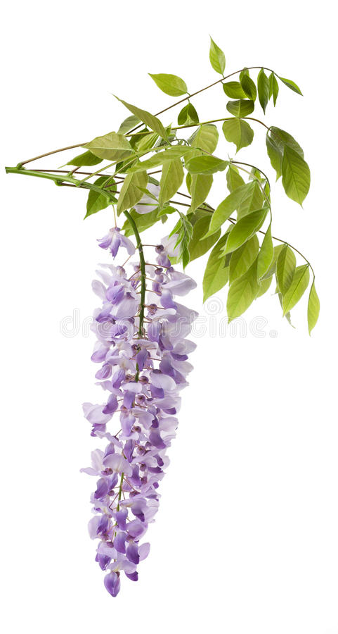 Wisteria. Flowers isolated on white stock photo