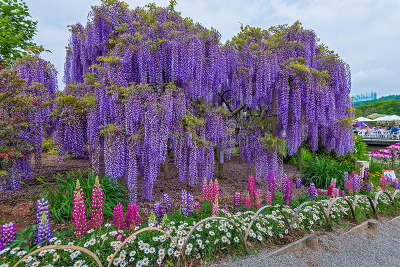 Wisteria. Fuji flowers in Japan stock photos