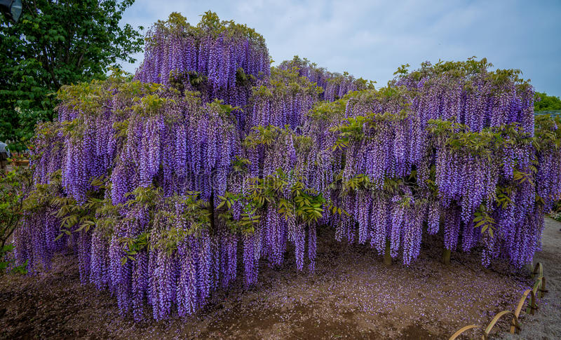 Wisteria. Fuji flowers in Japan royalty free stock images