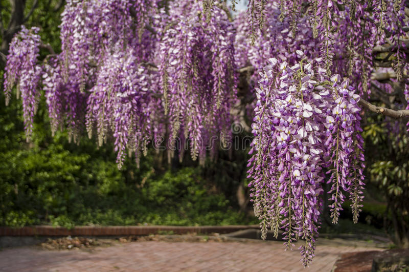 Wisteria. Full flowered wisteria on a railing at evening royalty free stock image