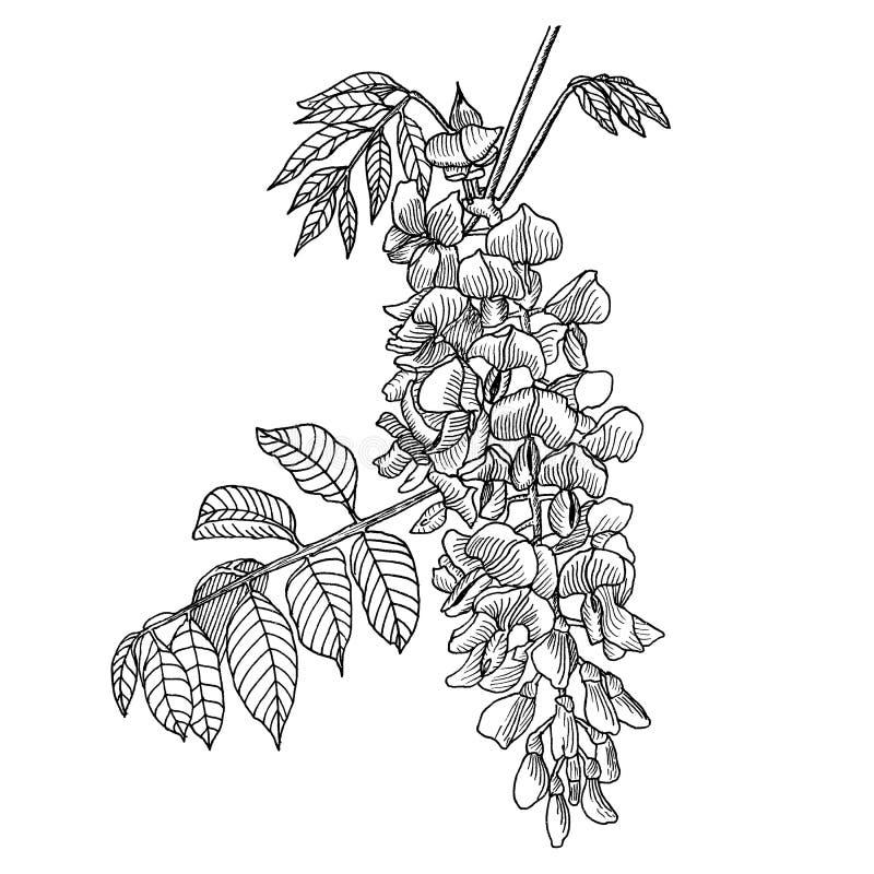 wisteria Hand gezeichnet lizenzfreie abbildung