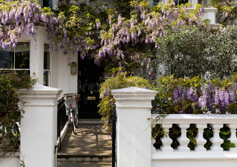 Wisteria House. Blossoming wisteria tree covering up a house facade in Notting Hill, London royalty free stock photography