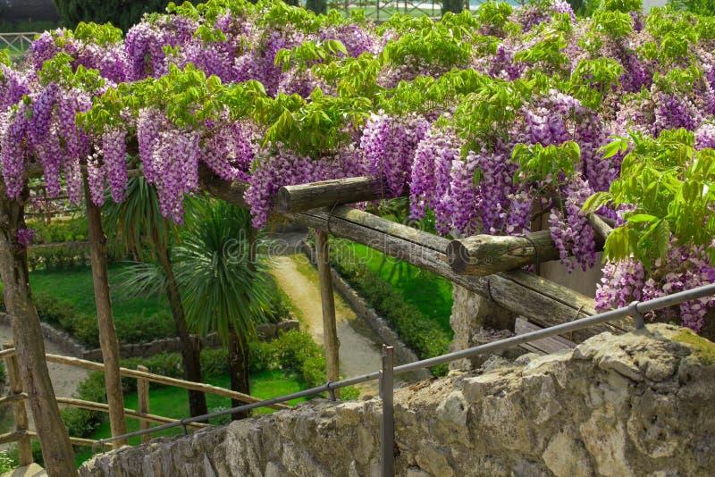 Wisteria i blomning i trädgården av villan Rufalo i Ravello, Amalfi kust, Sorrento, Italien arkivfoto