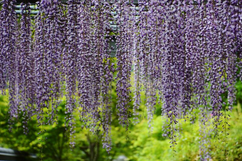 Wisteria. In Japan, wisteria blooms from late April to early May. Fuji wisteria festival is held around the wisteria trellis in the precincts of temples and royalty free stock photos