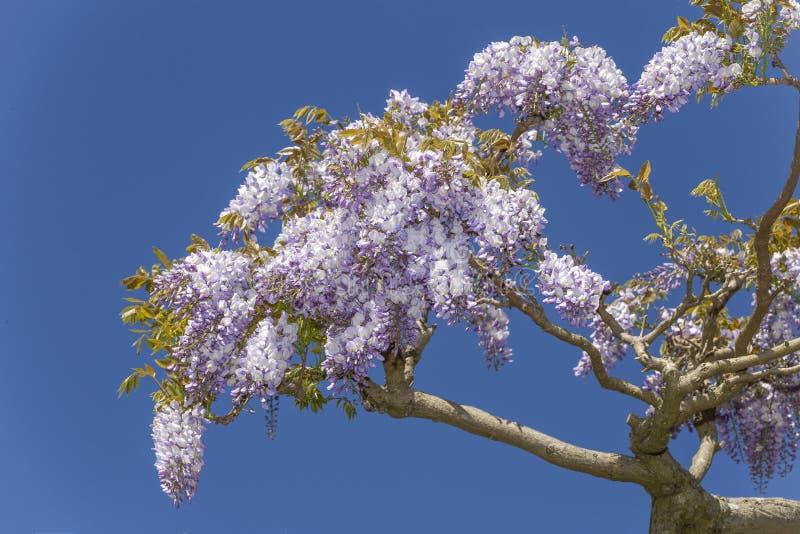 Wisteria komt bloemen tot bloei royalty-vrije stock afbeelding