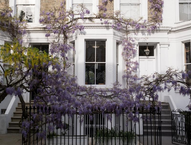 Wisteria and laburnum trees in full bloom growing outside a white painted house in Kensington London. Kensington London. Wisteria and laburnum trees in full royalty free stock photo