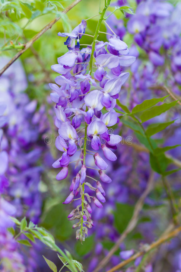 Wisteria. Light violet wisteria flowersblooming in a garden royalty free stock photo