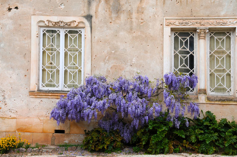 Wisteria. Near the windows of an old house stock photography