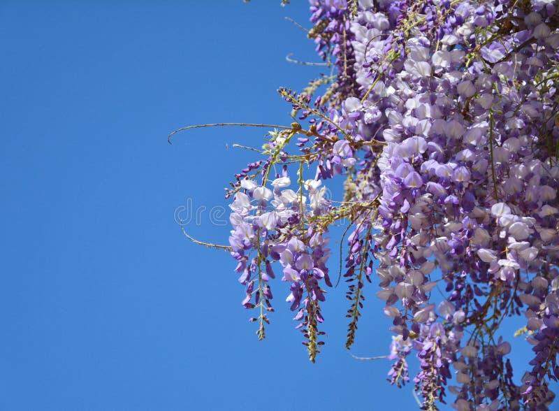 Wisteria paarse bloemen royalty-vrije stock foto's