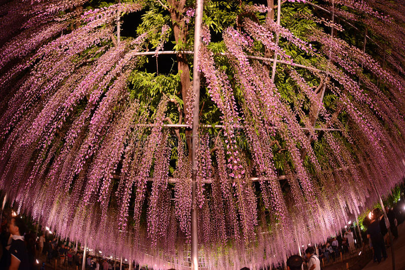 Wisteria park. Wisteria flowers in japan with illumination stock photos