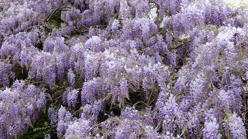 Wisteria plant in bloom. In a garden stock photos