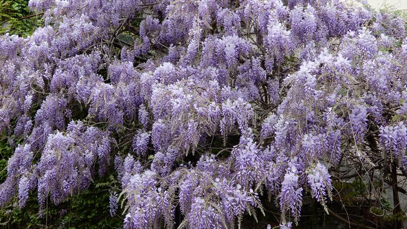 Wisteria plant in bloom. In a garden royalty free stock photography