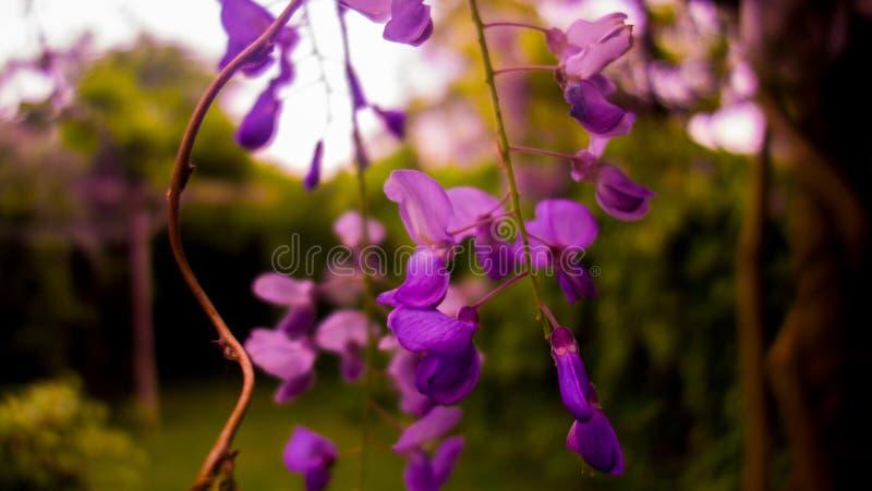 Wisteria Plant - blue / purple flower stock photos