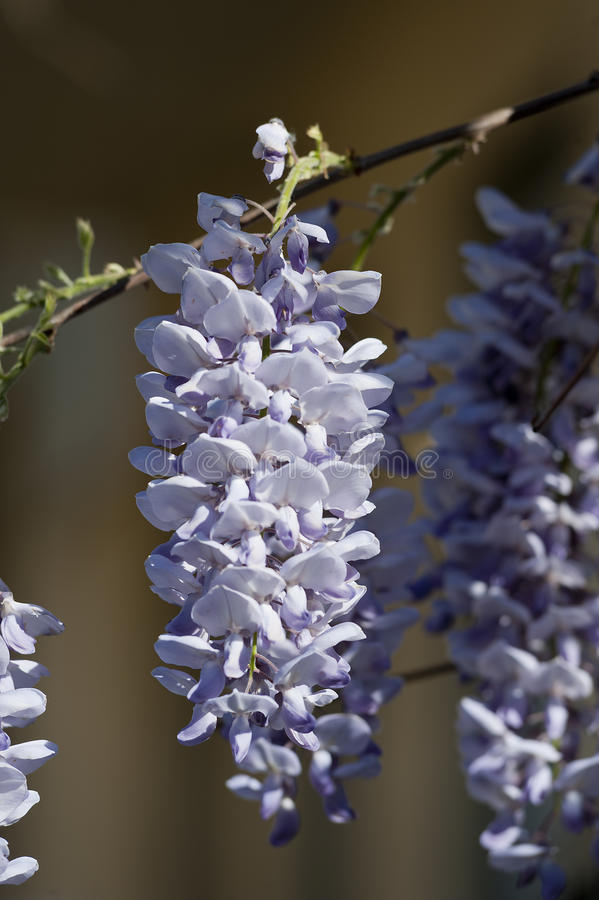 Wisteria plant during spring. Flowering wisteria plant during spring with sun stock photo