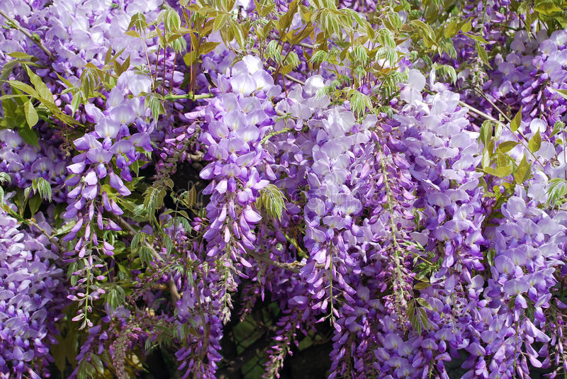 Wisteria purple flowers. Wisteria bright flowers in spring royalty free stock image