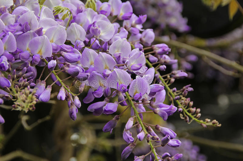 Wisteria racemes. Close-up photo of beautiful lilac coloured wisteria racemes in full springtime bloom. May 2016 royalty free stock images