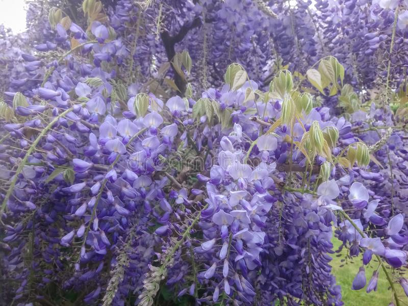 Wisteria sinensis 'Prolific', violet colored Chinese Wisteria. Wisteria sinensis: a beautiful violet climbing plant in a garden in spring stock photo