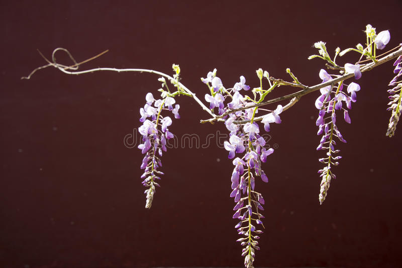Wisteria sinensis. Asia, China, Beijing, China, zhongshan park, spring flowers,Wisteria sinensis is very beautiful royalty free stock photos