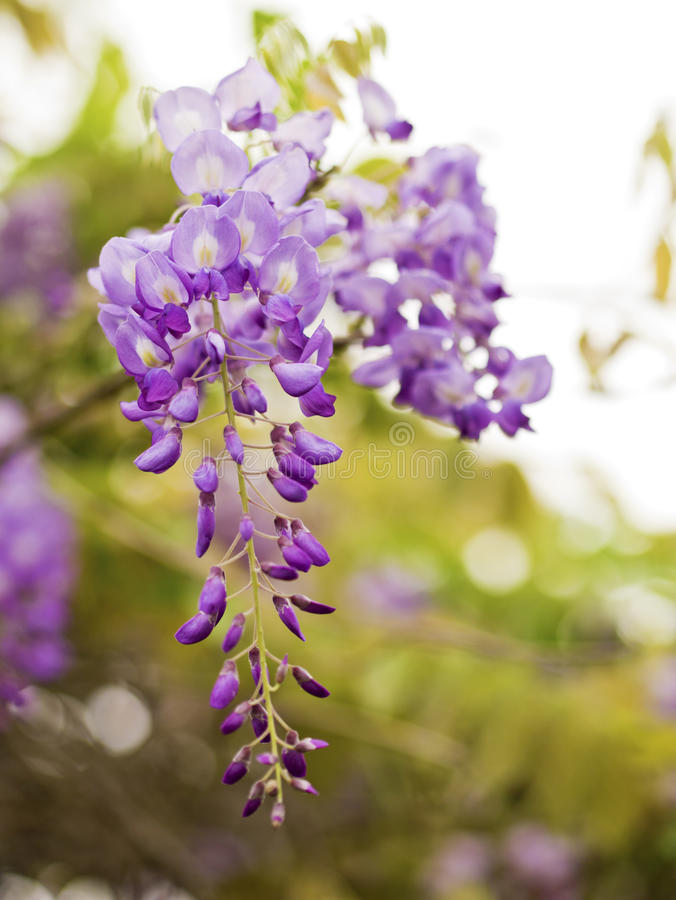 Wisteria sinensis. Beautiful Wisteria sinensis flowers blooming in springtime royalty free stock photos