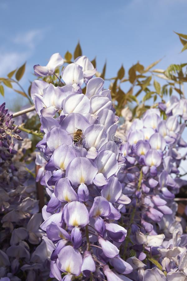 Wisteria sinensis in bloom. Bee onlLilac flowers of Wisteria sinensis royalty free stock photos