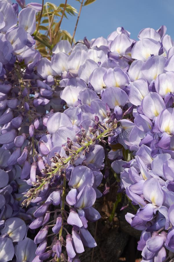 Wisteria sinensis in bloom. Lilac flowers of Wisteria sinensis climber plant royalty free stock images