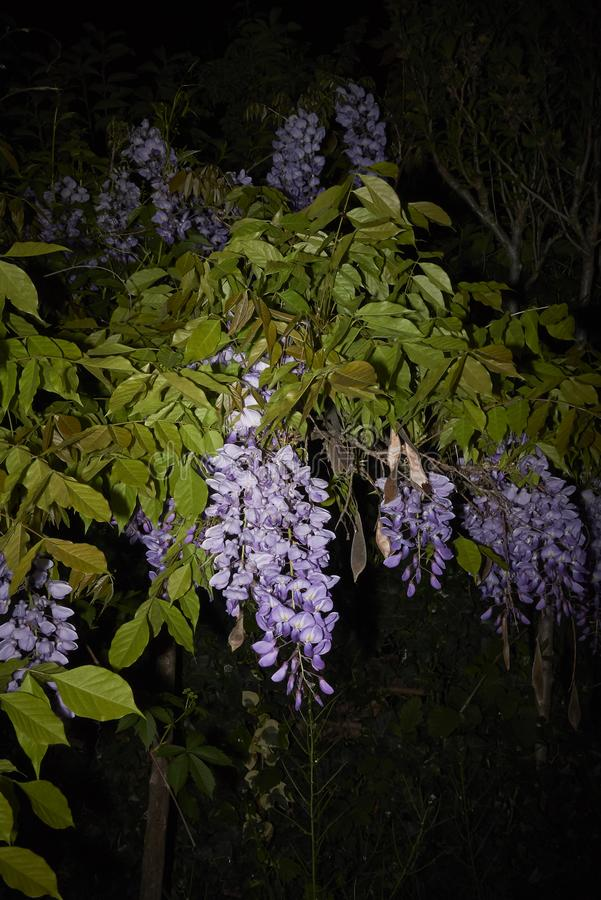 Wisteria sinensis in bloom. Lilac flowers of Wisteria sinensis climber plant royalty free stock photos