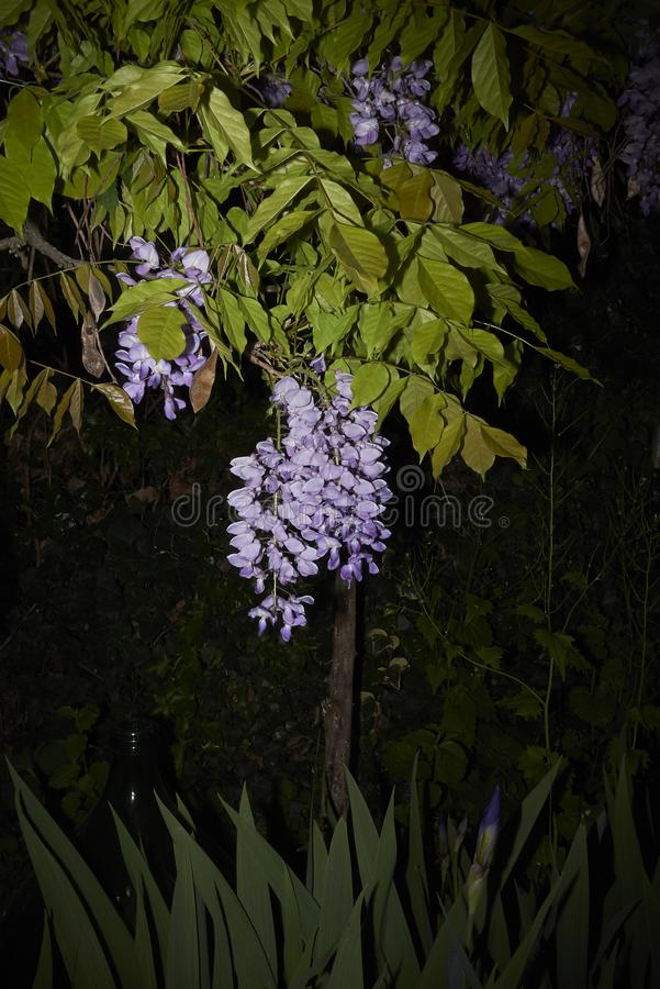 Wisteria sinensis in bloom. Lilac flowers of Wisteria sinensis climber plant stock images