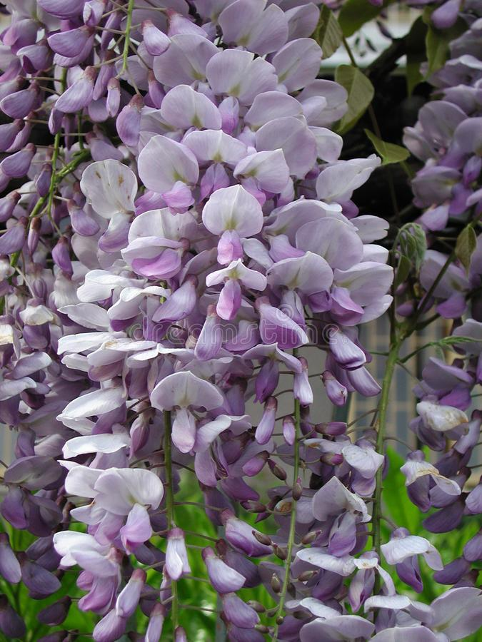 Wisteria sinensis in bloom. Violet flower of Wisteria sinensis climber royalty free stock images