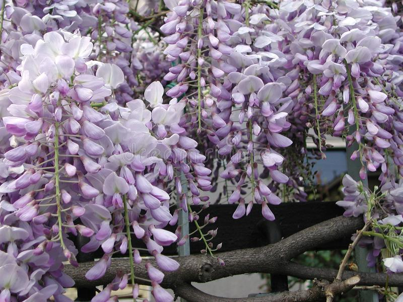 Wisteria sinensis in bloom. Violet flower of Wisteria sinensis climber stock photography