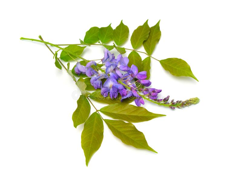 Wisteria sinensis or Chinese wisteria isolated on white background.  royalty free stock image