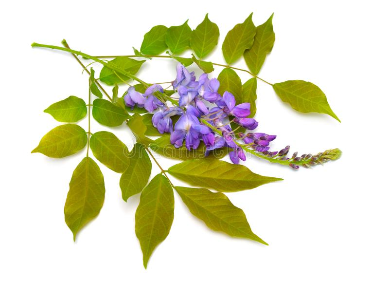Wisteria sinensis or Chinese wisteria isolated on white background.  royalty free stock images