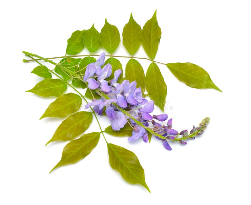 Wisteria sinensis or Chinese wisteria isolated on white background.  stock photography
