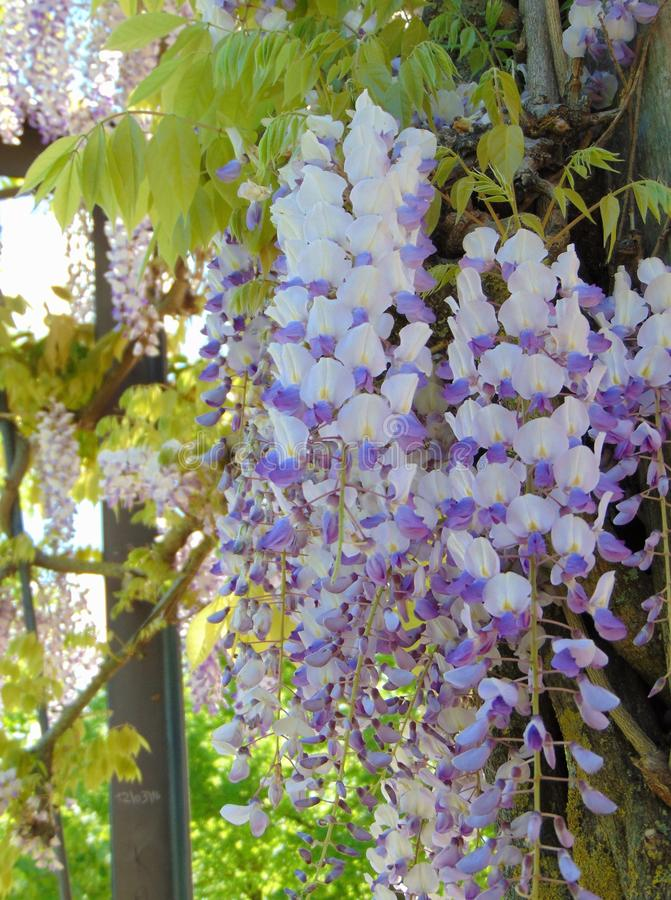 Wisteria sinensis during flowering in spring. Chinese Wisteria Wisteria sinensis flowers,  growing in the park outdoors in spring, Italy. Toned foto stock photography