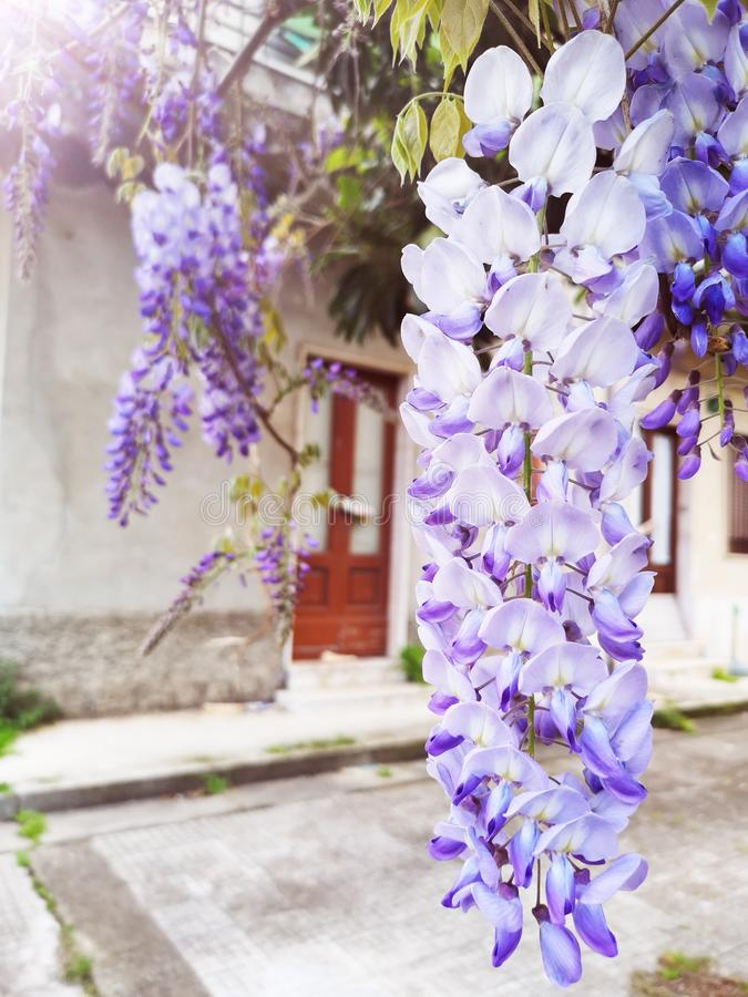 Wisteria Sinensis flowers cascading on branch. Bunches of Wisteria Sinensis flowers cascading on branch plant floweting vine royalty free stock image