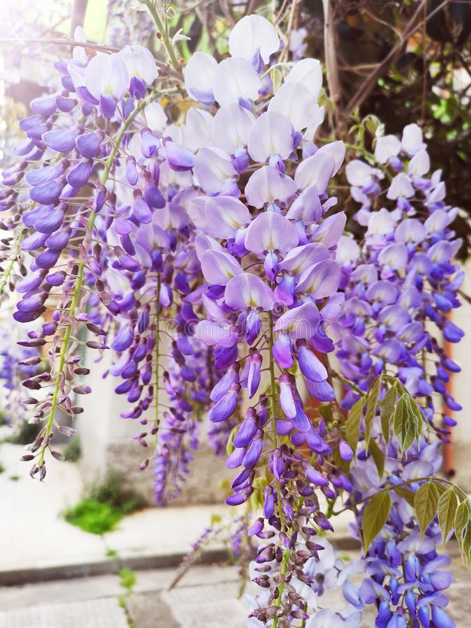 Wisteria Sinensis flowers cascading on branch. Bunches of Wisteria Sinensis flowers cascading on branch plant floweting vine stock image