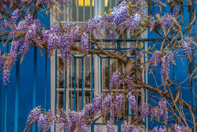 Wisteria sinensis, Chinese Wisteria. Wisteria sinensis, Wisteria in the front garden, spring stock image
