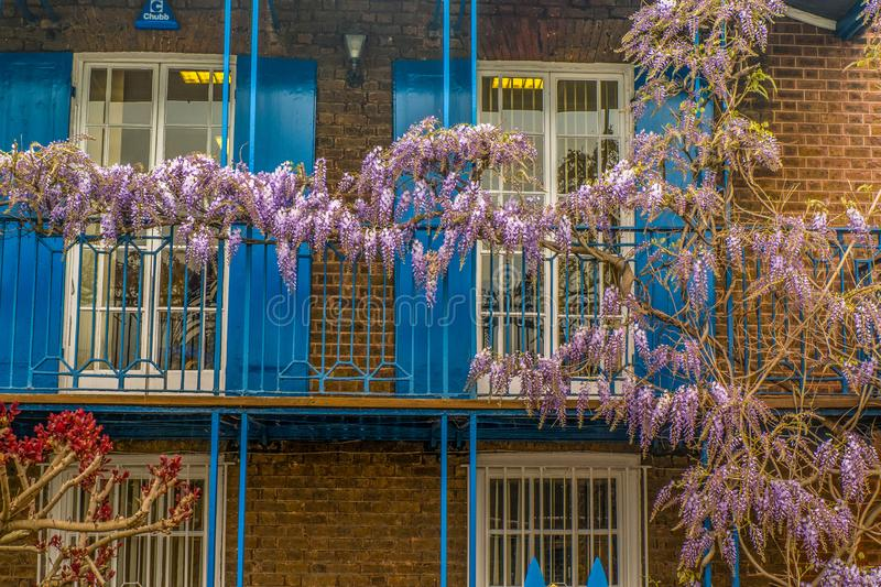 Wisteria sinensis, Chinese Wisteria. Wisteria sinensis, Wisteria in the front garden, spring royalty free stock photos