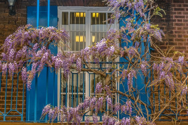 Wisteria sinensis, Chinese Wisteria. Wisteria sinensis, Wisteria in the front garden, spring royalty free stock photography