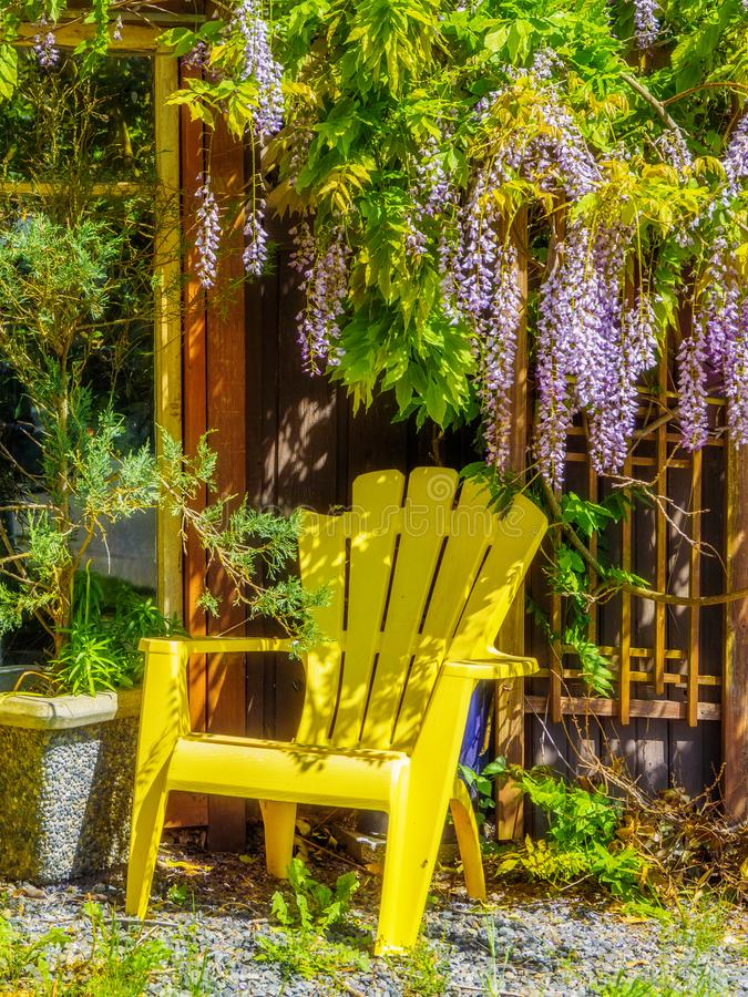 Wisteria Wisteria sinensis. Garden chairs under large purple clusters of wisteria Wisteria sinensis blooming in the spring stock images