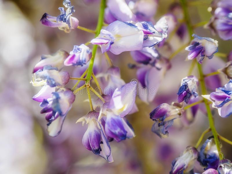 Wisteria Wisteria sinensis. Garden gate under large purple clusters of wisteria Wisteria sinensis blooming in the spring stock photo