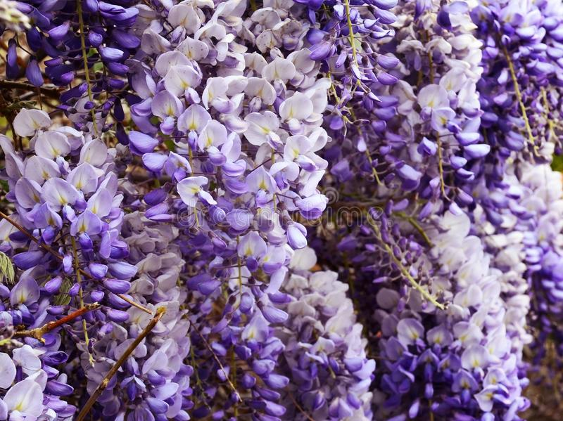 Wisteria sinensis Glycine de Chine flowers in the garden. Is a genus of flowering plants that includes species of woody climbing vines that are native to China royalty free stock photo