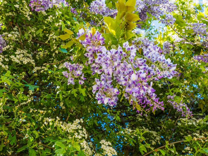 Wisteria Wisteria sinensis. Large purple clusters of wisteria Wisteria sinensis blooming in the spring royalty free stock photography