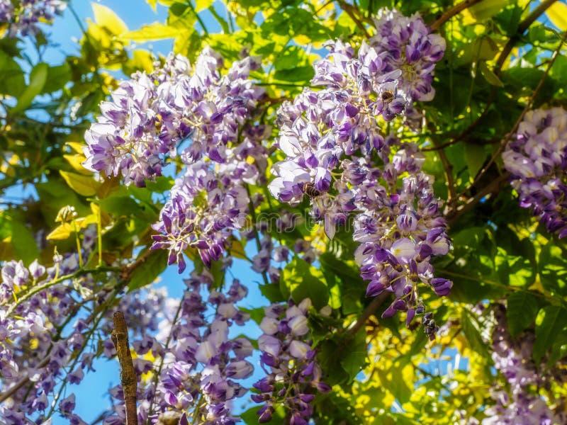 Wisteria Wisteria sinensis. Large purple clusters of wisteria Wisteria sinensis blooming in the spring stock images